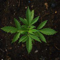 FL.Medicial.Marijuana